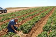 Глава  хозяйства А.Абаринов на своем  поле с капельным поливом