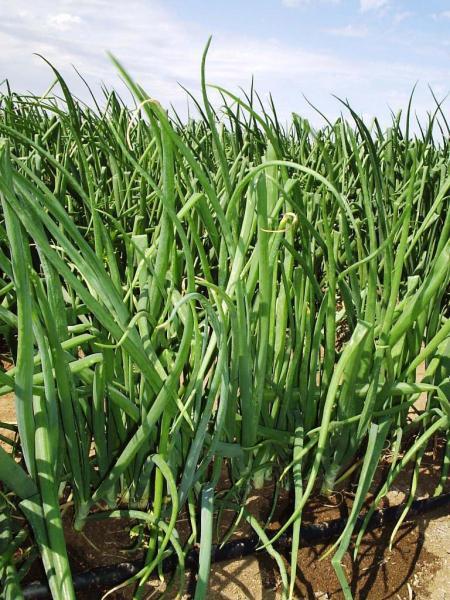 Капельный полив лука дает 80-90 тонн с 1га
