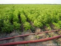 Лей-Флет на поле с картофелем